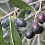 huiles d'olive bio