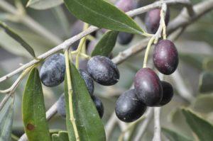 Olives verger biologique en tunisie