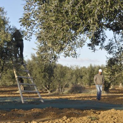 Champs-oliviers-tunisie_DSC0531